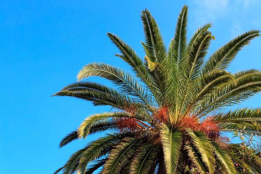 Пицунда пальмы